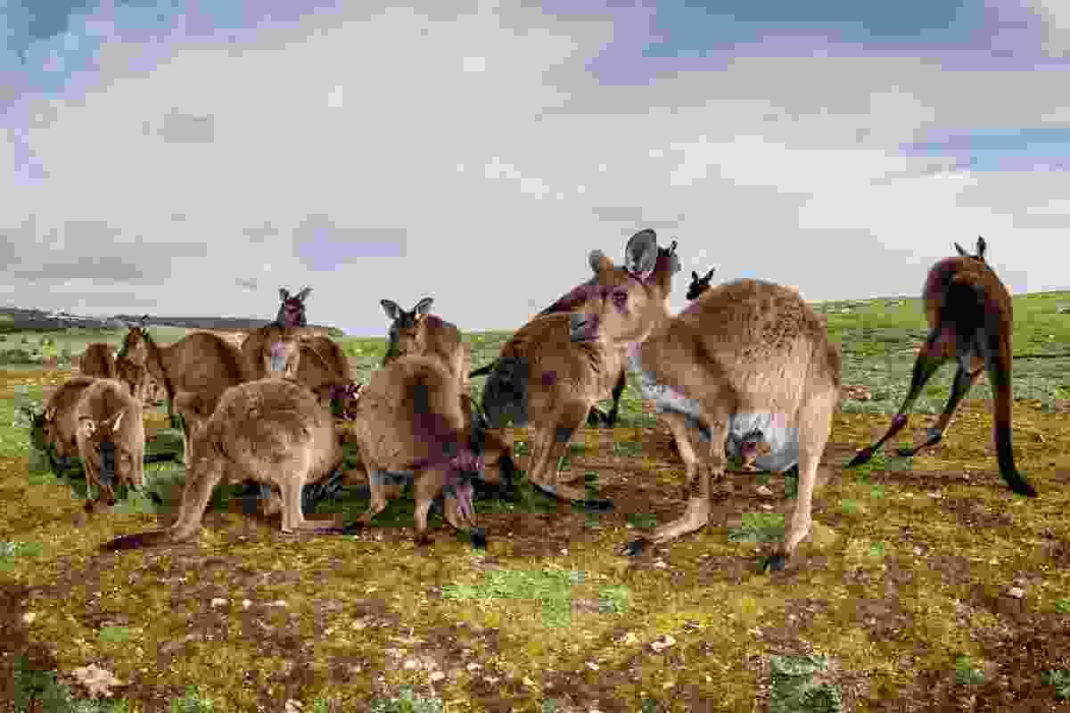 Kangaroos spot the camera on Kangaroo Island, Australia (Shutterstock)