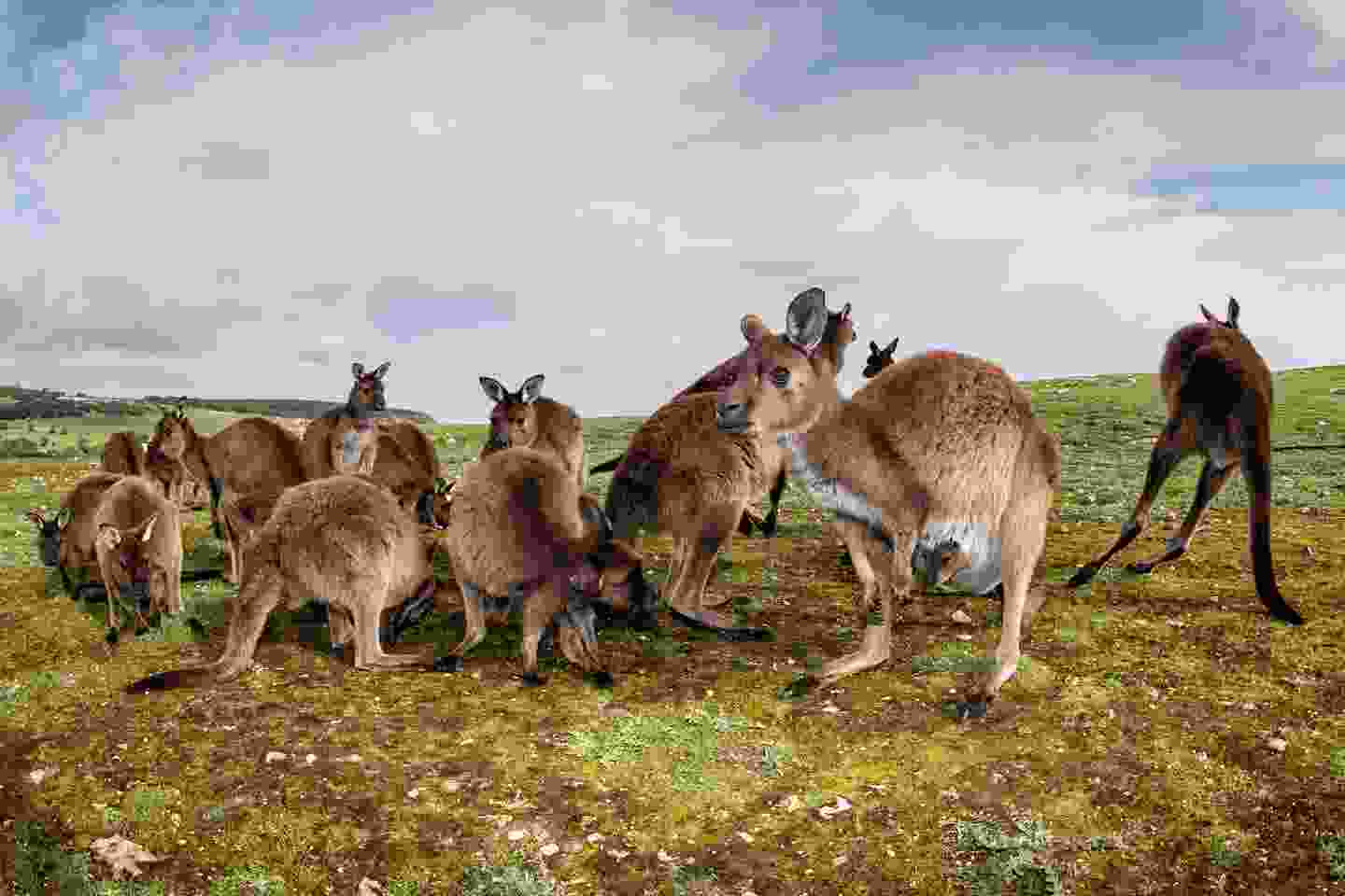 Kangaroos spot the camera on Kangaroo Island, Australia (Shutterstock)