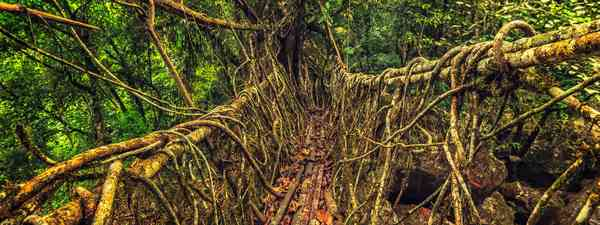 India's living root bridges are a true wonder of the world (Shutterstock)