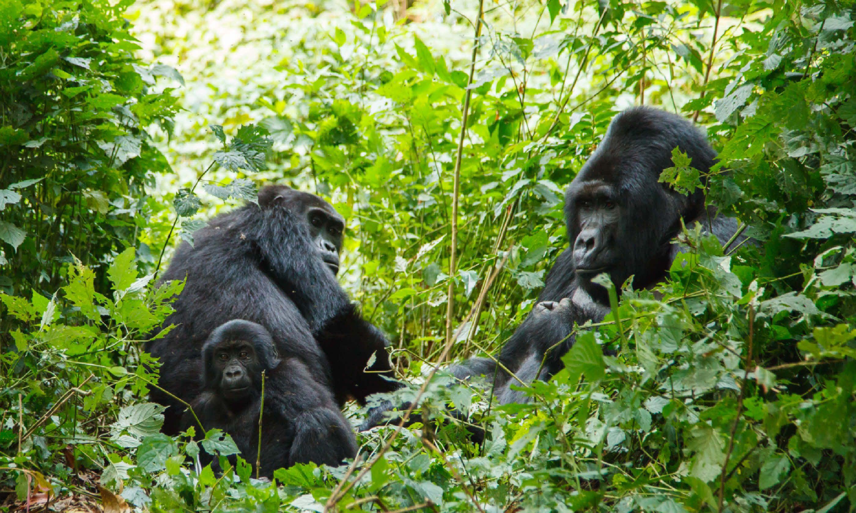 Gorilla family in wild, Uganda (Shutterstock)