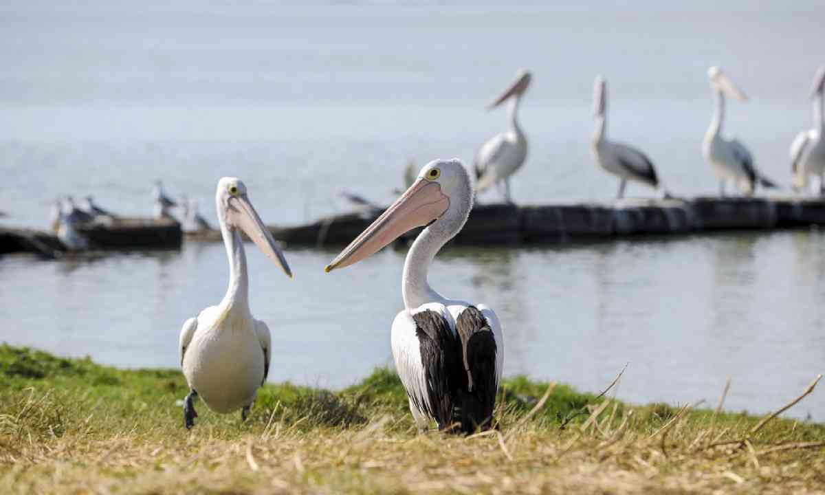 Pelicans in Coorong National Park (SATC)