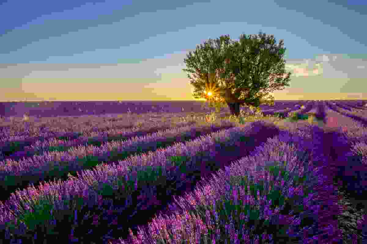 A lavender field in Provence, France (Shutterstock)