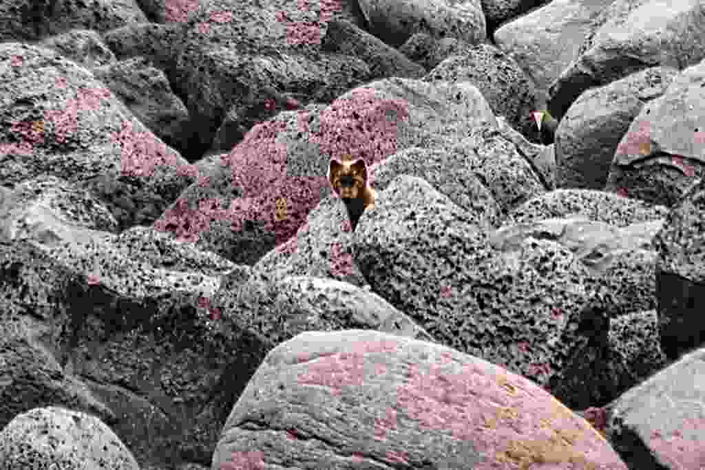 An Arctic fox blending in (Mark Stratton)