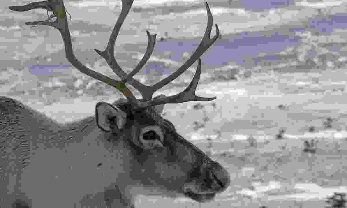 A reindeer in Cairngorms National Park, Scotland (Shutterstock)