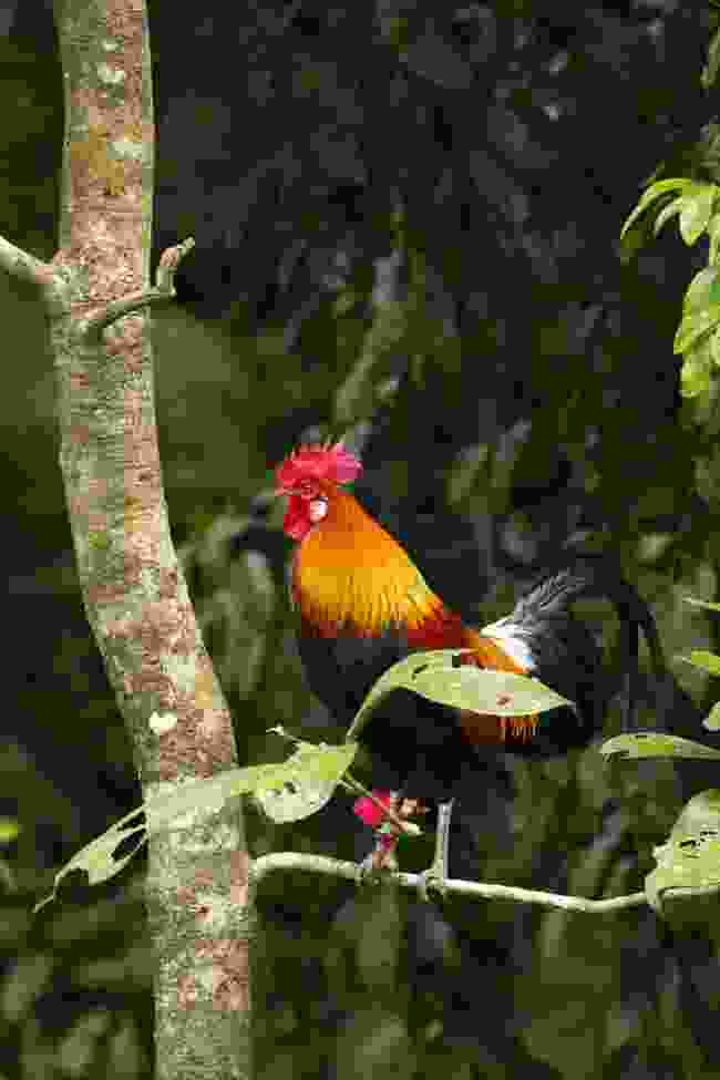 The red jungle fowl can be spotted in Terai (Shutterstock)
