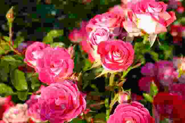 The Princess Grace Rose Garden (Shutterstock)