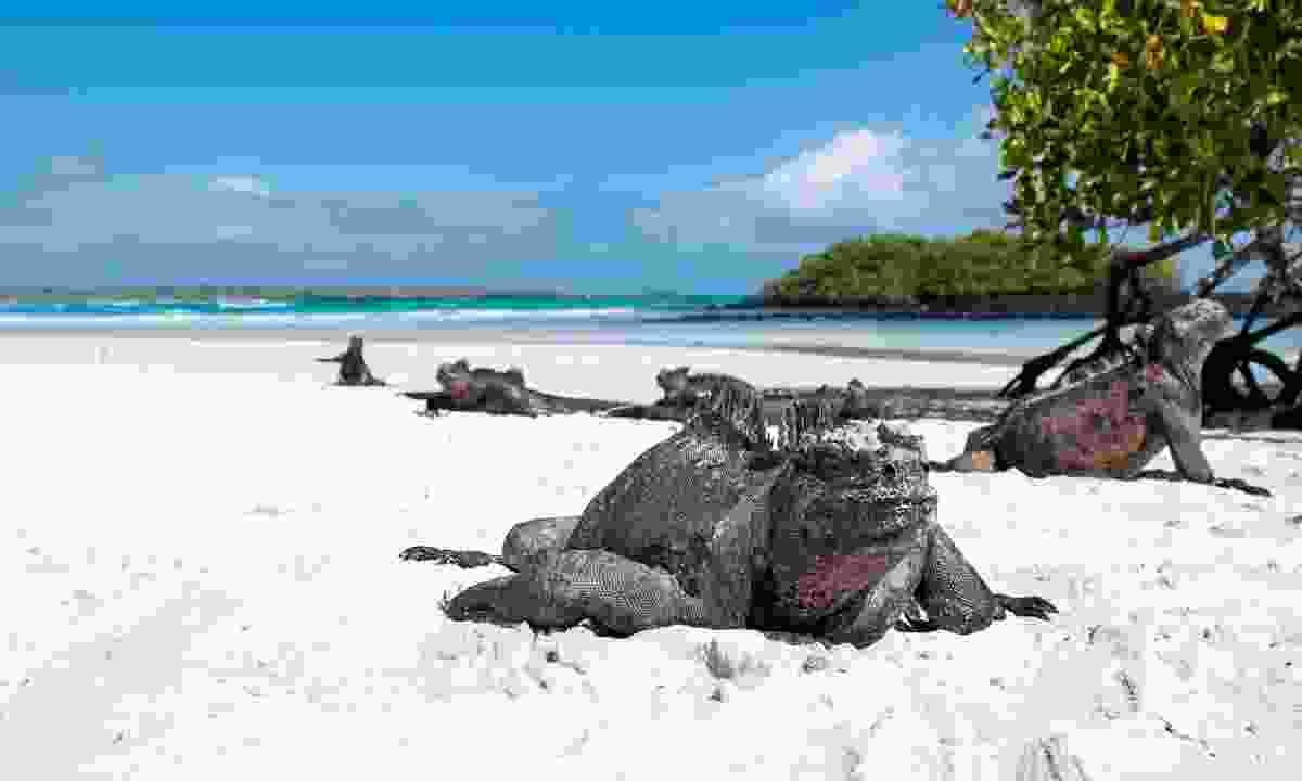 Marine iguana on the Galápagos Islands (Shutterstock)