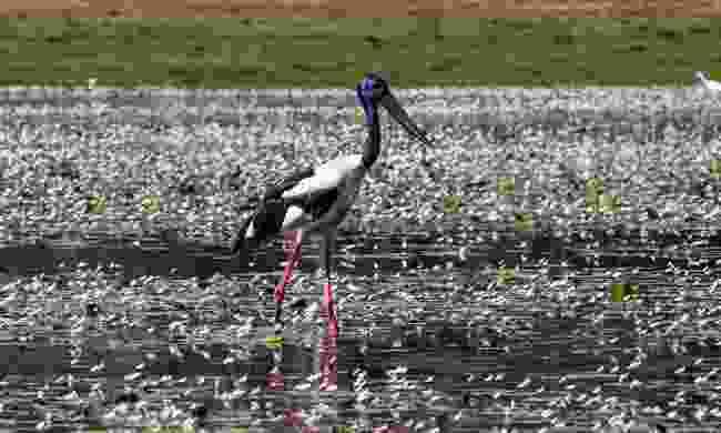 A black-necked stork in Kakadu National Park, Northern Territory (Shutterstock)