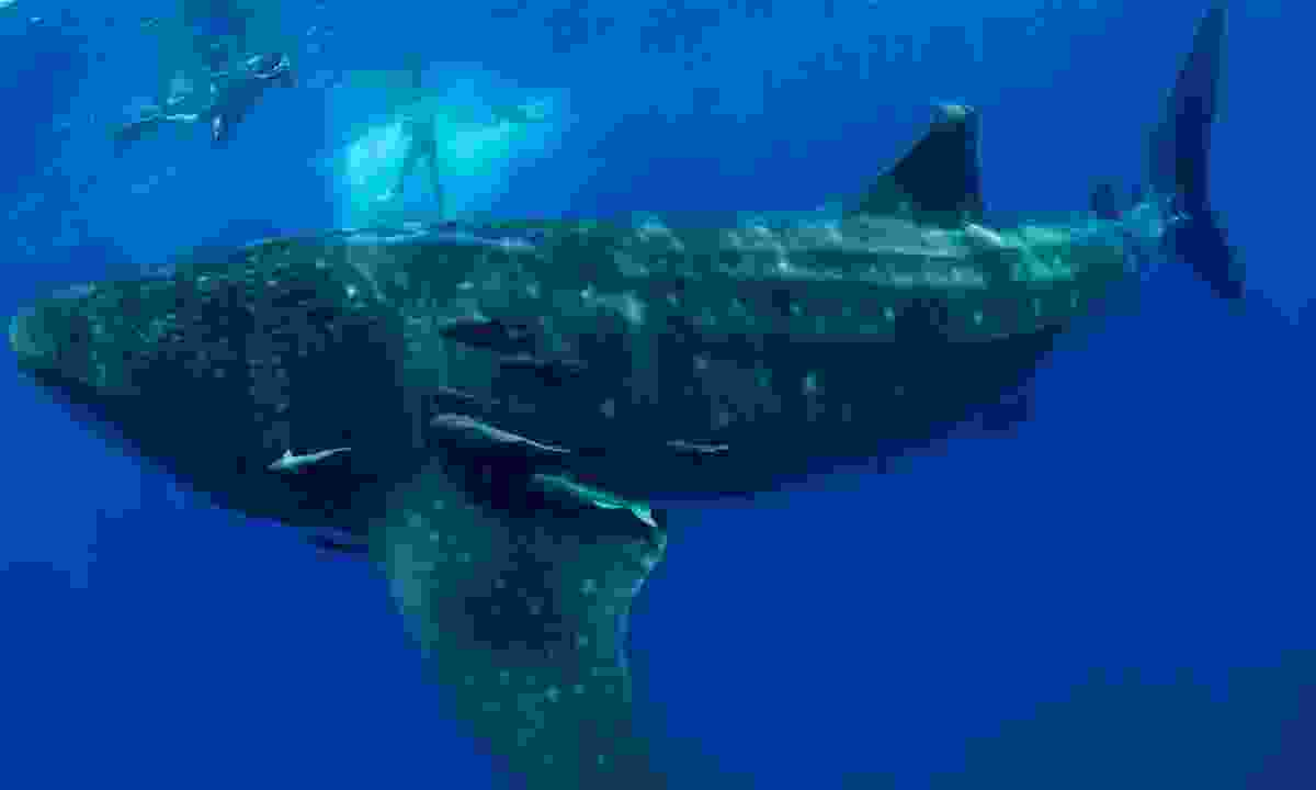 Snorkel with whale sharks in St Helena (St Helena Tourist Board)