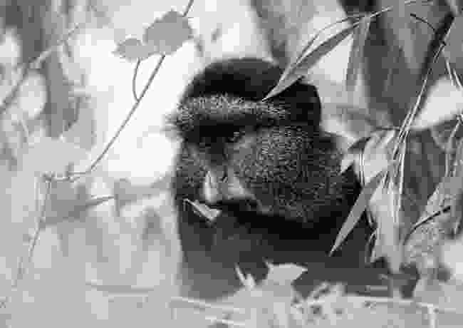Golden monkey, Volcanoes National Park, Rwanda (Kellie Netherwood)