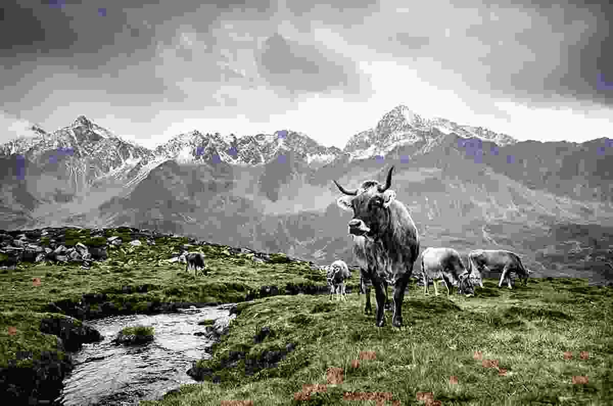 Tiroler Grauvieh, East Tirol, Austria, © Werner Lampert GmbH, (Photo Ramona Waldner)