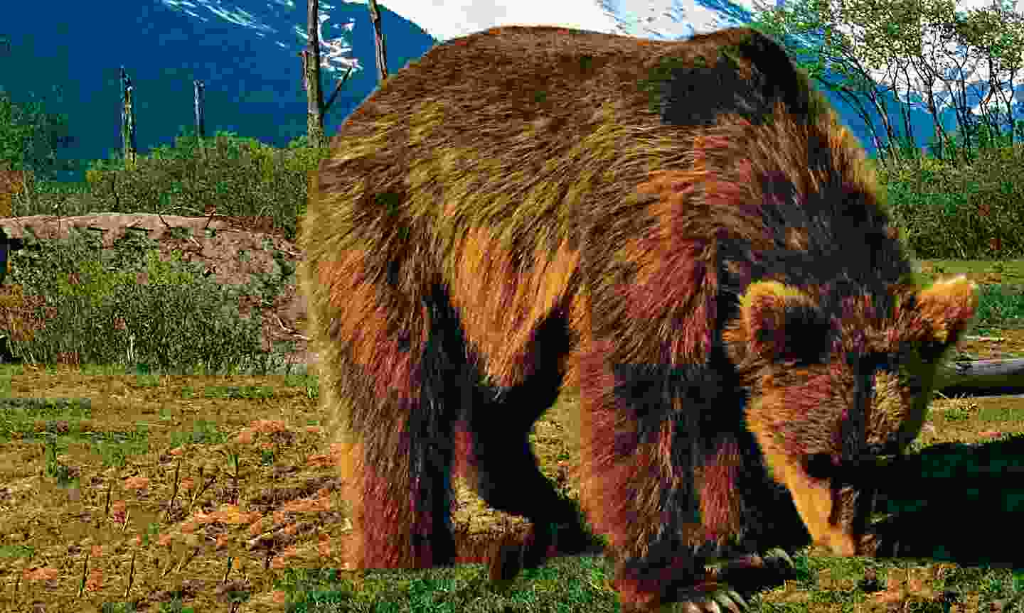 A brown bear rummages around the Alaska Wildlife Conservation Center (Dreamstime)