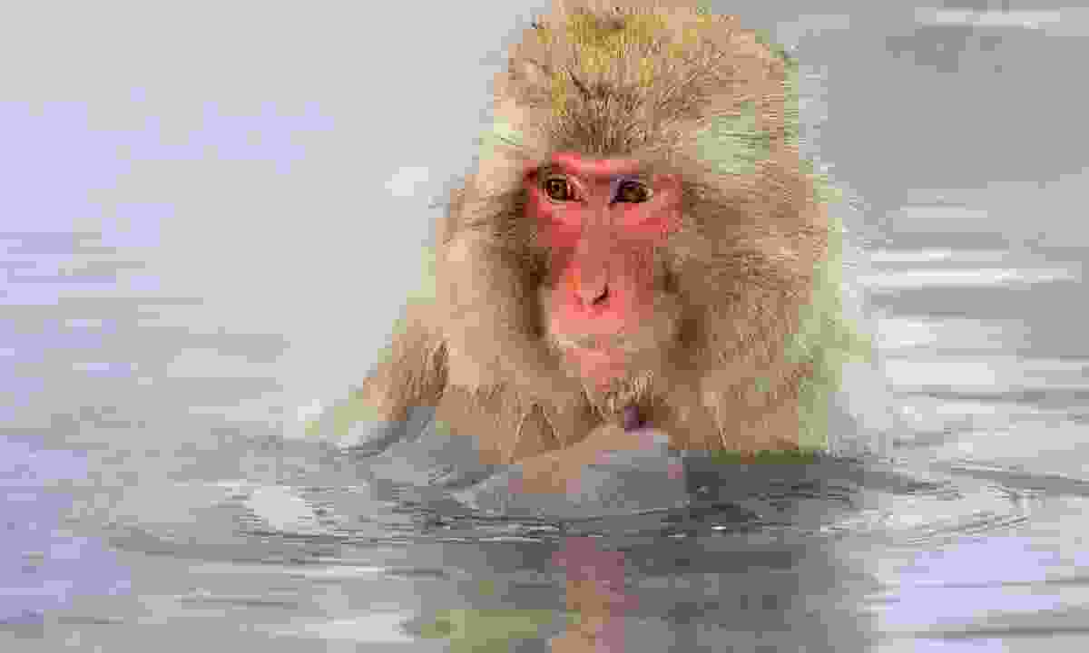 A Japanese macaque taking the waters at Jigokudani (Dreamstime)