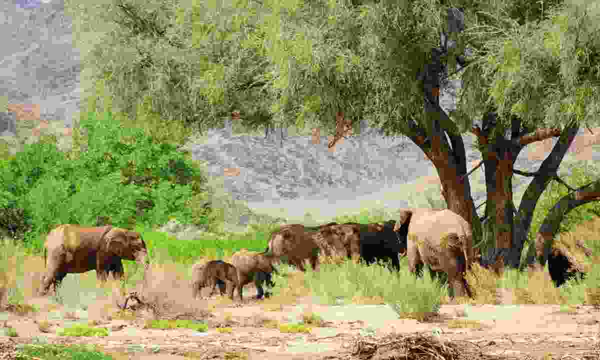 Elephants have adapted well to life in the dry north-west and can travel up to 65km to find water (Sarah Gilbert)