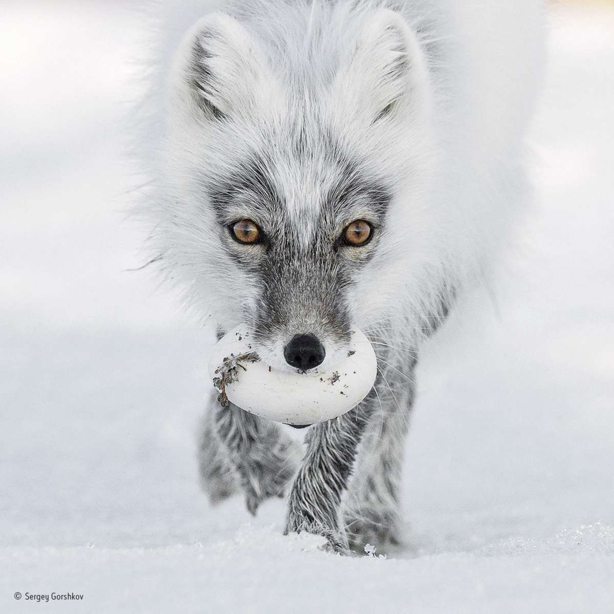 Arctic Treasure. Finalist 2017 Animal Portrait (Sergey Gorshkov)