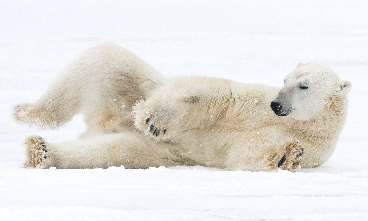 A polar bear lying in the snow near Churchill (Dreamstime)