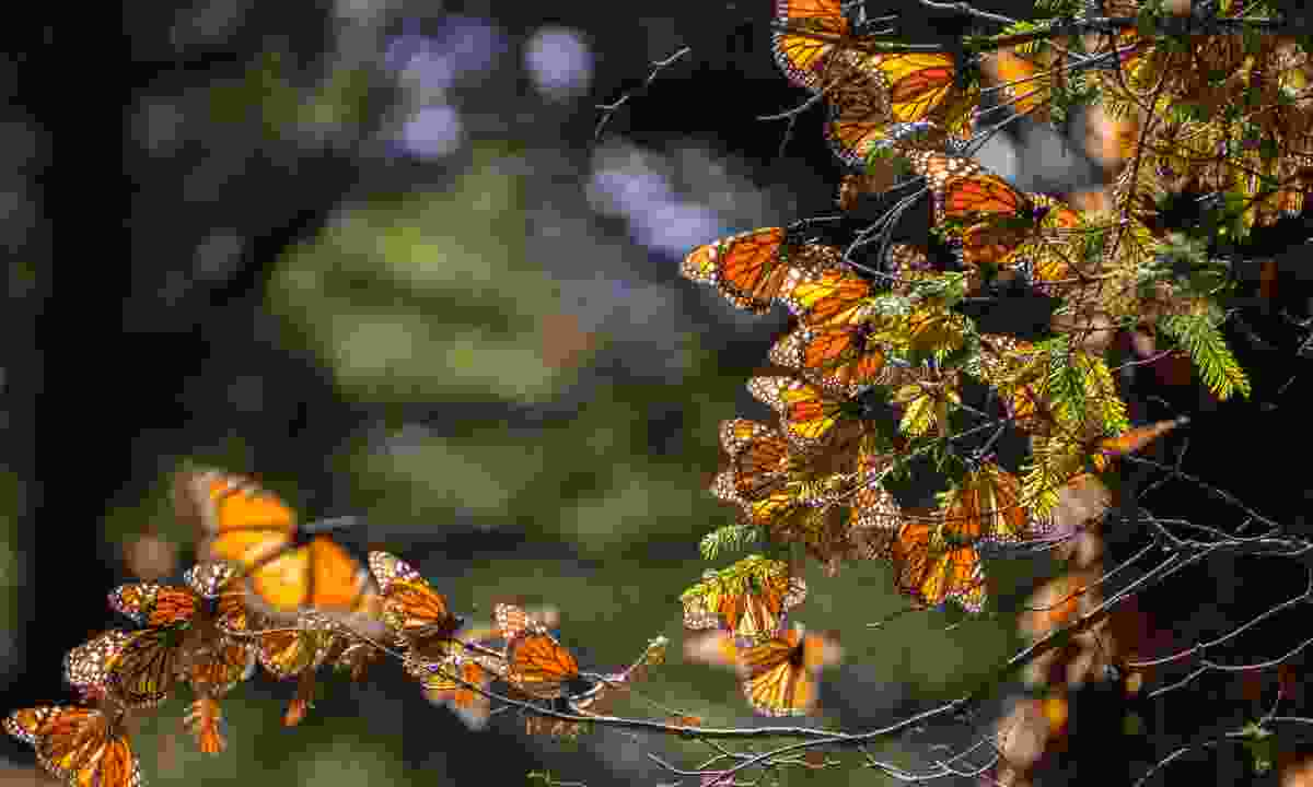 Monarch butterflies in the Michoacan Biosphere Reserve (Dreamstime)