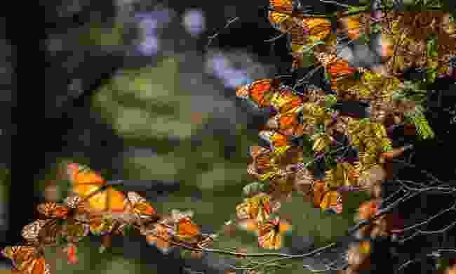 Monarch butterflies in the Michoacan Biosphere Reserve (Dreamstime)