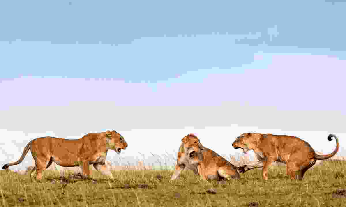 Lionesses fighting (Ken and Michelle Dyball)