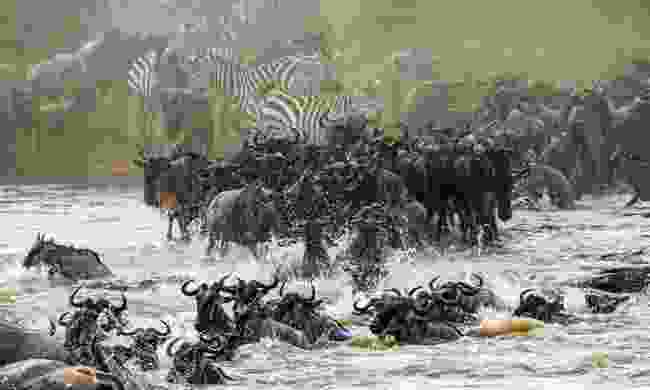 Wildebeests crossing the Mara river during the Great Migration (Shutterstock)