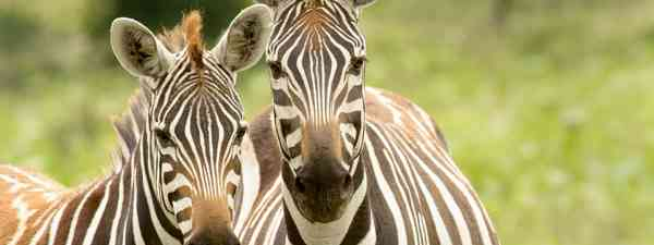 A pair of zebras (Shutterstock)