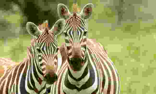 Up close and personal with the zebra of Nechisar National Park (Shutterstock)