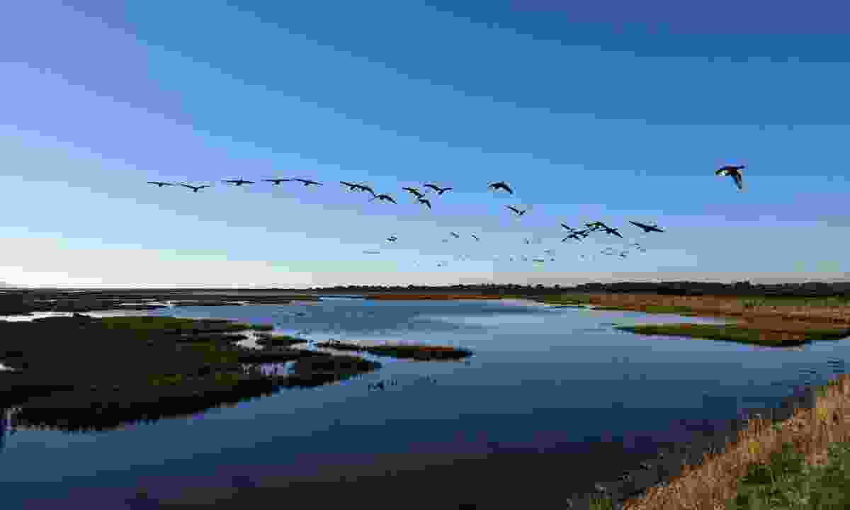 Brent geese in flight over Lymington and Keyhaven Marshes (Shutterstock)