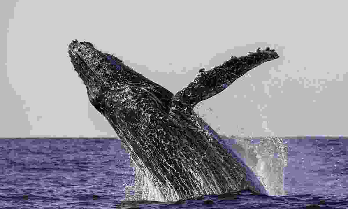 Humpback whale leaps out of water (Dreamstime)