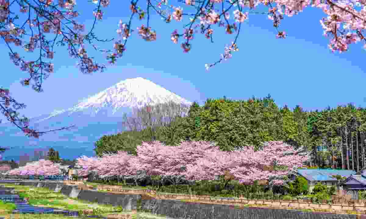 Cherry blossoms near Mount Fuji in spring (Dreamstime)