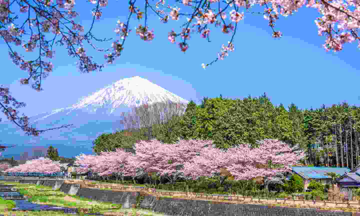 Cherry blossoms near Mount Fuji in spring (Dreamstime)