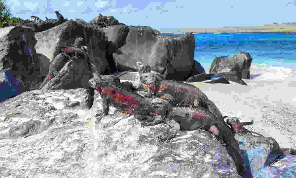 Iguanas on the Galápagos Islands (Dreamstime)