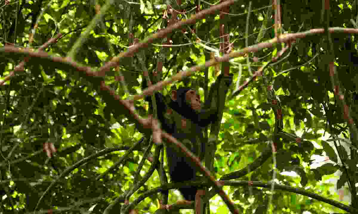 A chimp amongst a tangle of branches  (Emma Gregg)