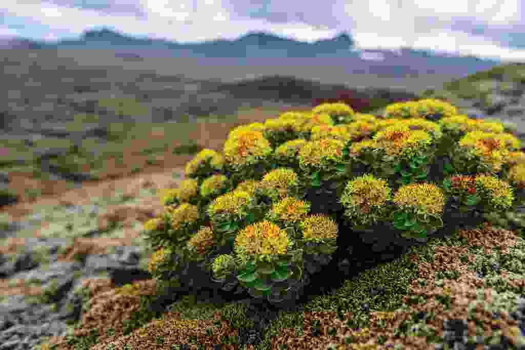 A flower on Neshraun lava field (Mark Stratton)