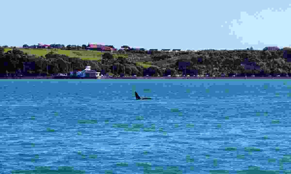 An orca in front on Auckland's skyline (Shutterstock)