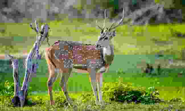 See spotted deer on a walking safari through Sri Lanka's Hill Country (Shutterstock)