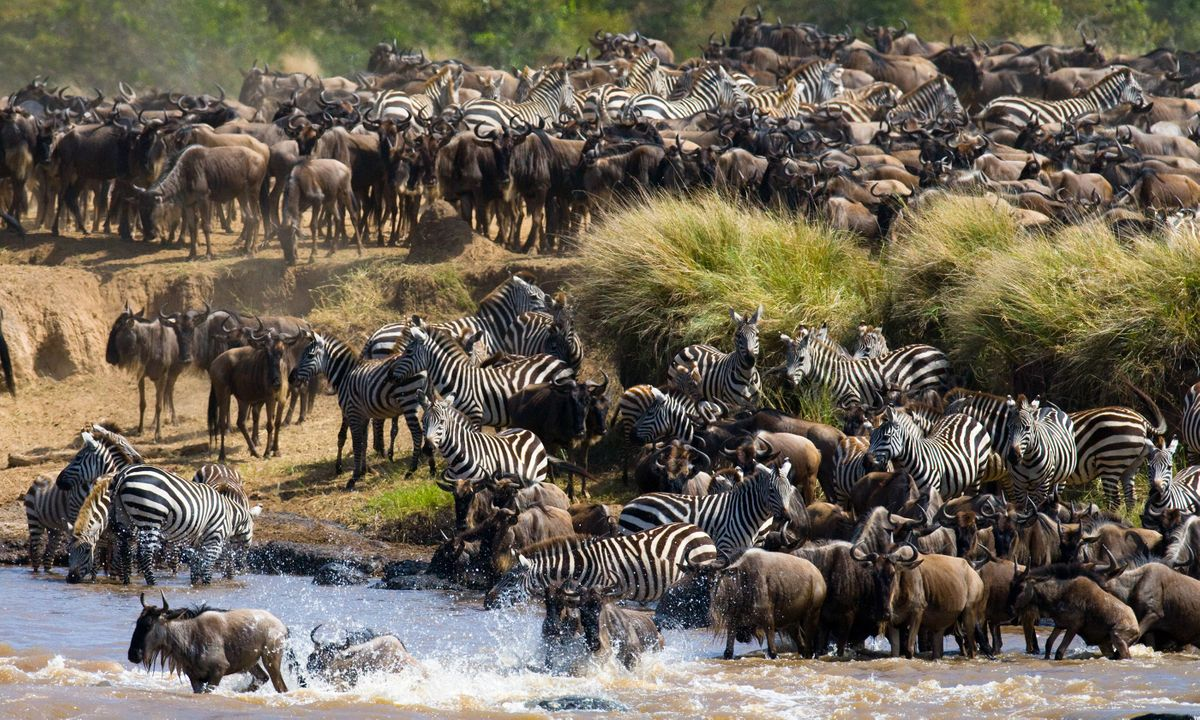 Wildebeest mix with zebra to form the Great Migration, dashing across the Mara River (Shutterstock)