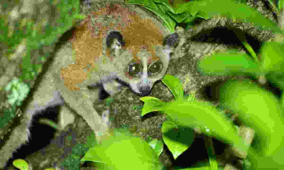 Spot pygmy slow loris hidden in Virachey National Park (Shutterstock)