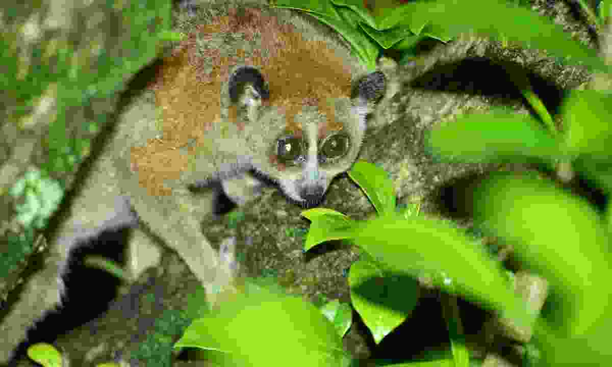 Spot pygmy slow loris hidden in Virachey National Park (Shutterstock)