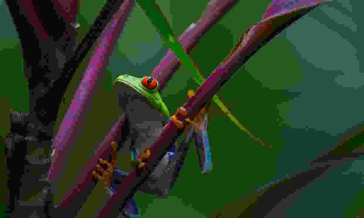 Spot tree frogs springing from tree to tree