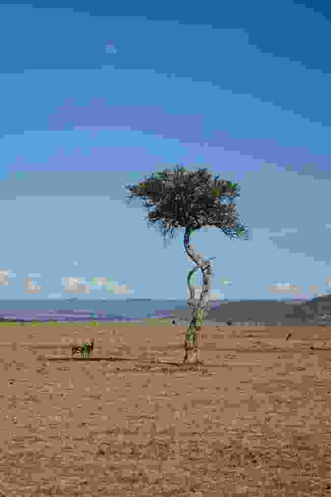 Thomson's gazelles seek shade under a tree at the Mara Naboisho Conservancy, Kenya (Graeme Green)