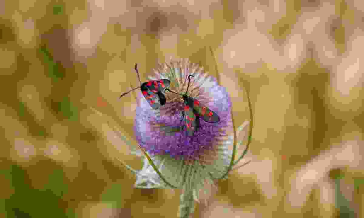 The 6-spot Burnet moth (Graeme Green)