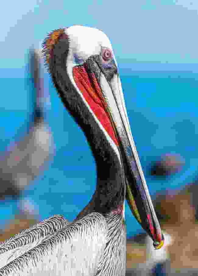 Brown pelican on the Baja shore (Shutterstock)