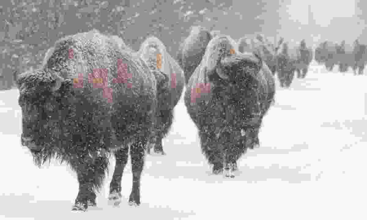 Bison in the snow (Dreamstime)