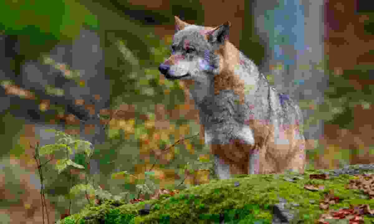 A wolf in the forest (Dreamstime)