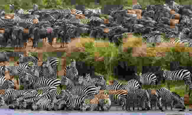 Zebra crossing the Mara River during the Great Migration (Shutterstock)