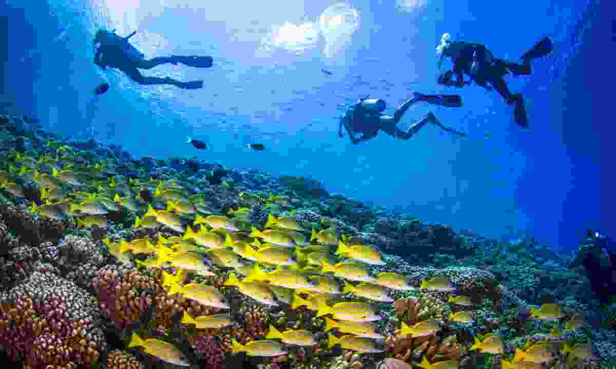 Diving with Yellowfin goatfishes above the coral reef of Fakarava (Shutterstock)