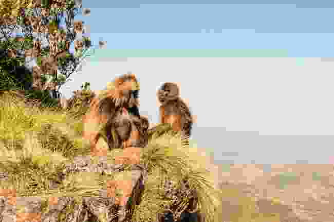 Baboons sitting high in the Simien Mountains, Ethiopia (Shutterstock)