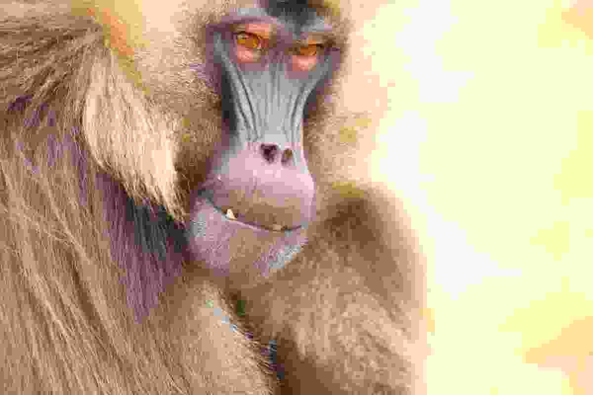 Gelada monkey in Simien Mountains NP, Ethiopia (Graeme Green)
