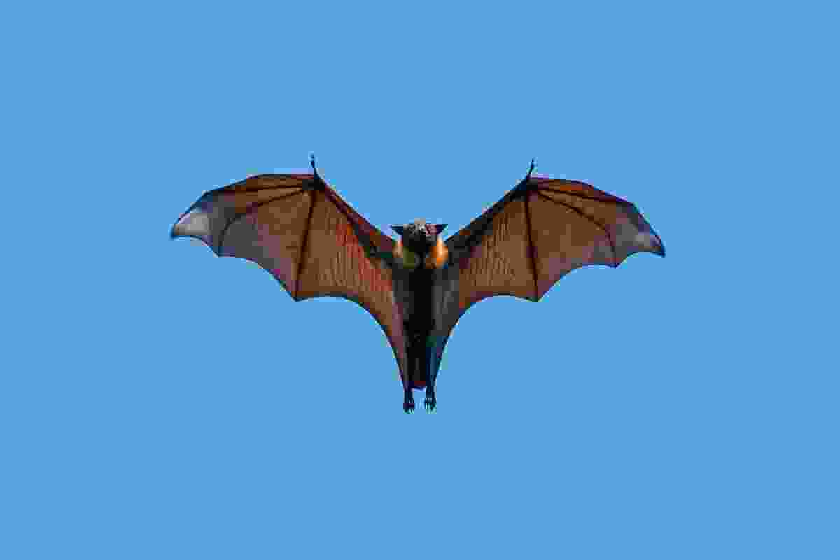 Flying fox (Axel Gomille)
