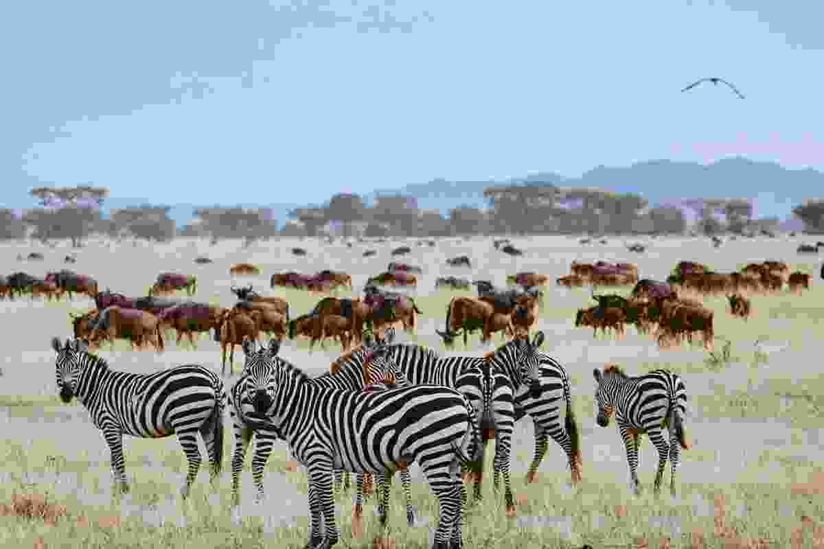The Great Migration of wildebeest and zebra begins in Tanzania, Africa (Shutterstock)